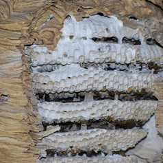 Eclosions de larves