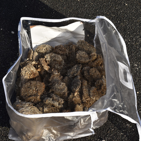 Récolte de nids de polistes
