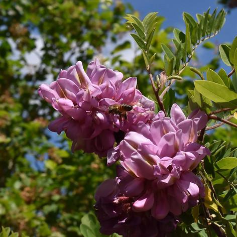 Récolte de pollen