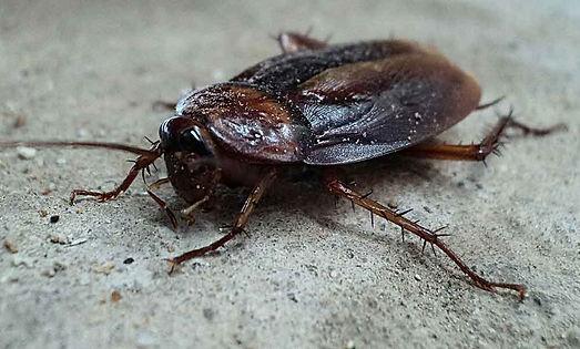 cafard-noir-de-jardin-cockroach-noir (1)