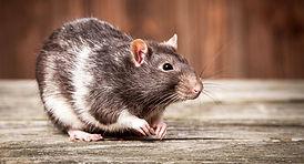 rat-lifespan.jpg
