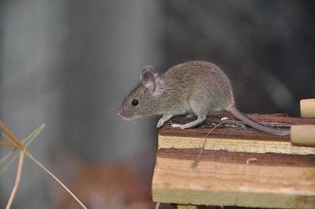Rats-Mice-Control-King-Arthur-Pest-Contr