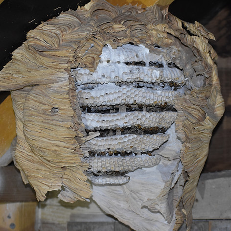 Couche intérieure de nid de frelons