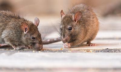 Rat-HD.jpg