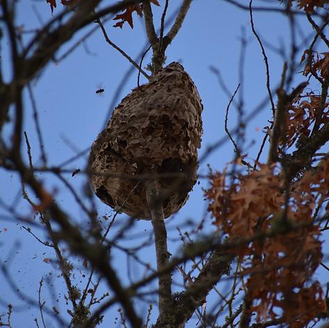 Extermination d'un nid de frelons asiatiques