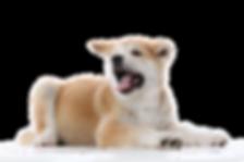 Toilettage chiens chats rennes vitré cessons chateaubourg chateaugiron coupe tonte 35 à domicile a