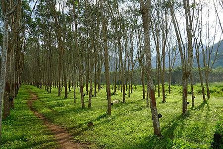 rubber-tree-4010773_1280.jpg