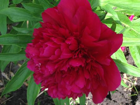 Saginaw's Flower, The Peony