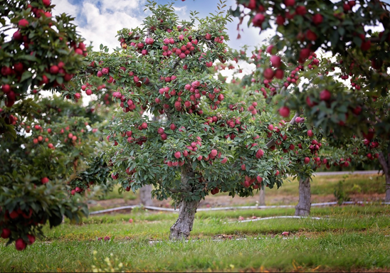 Apple Picking at Lawrence Farms