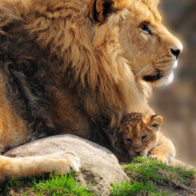 My Lions