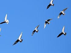homing-pigeons.jpg