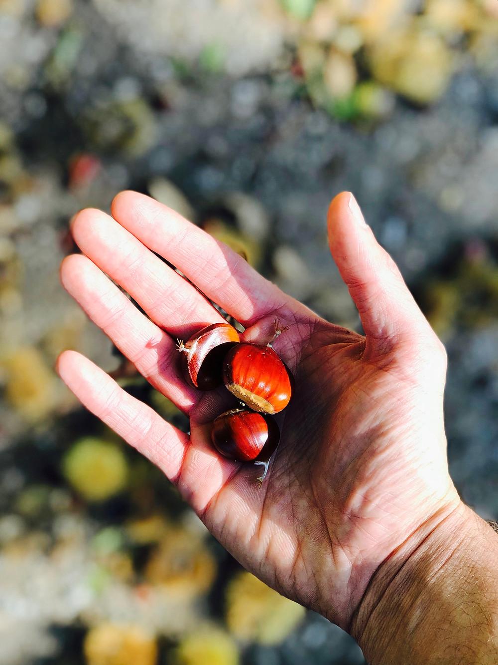 Foraged sweet chestnuts