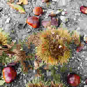 Fallen Sweet Chestnuts
