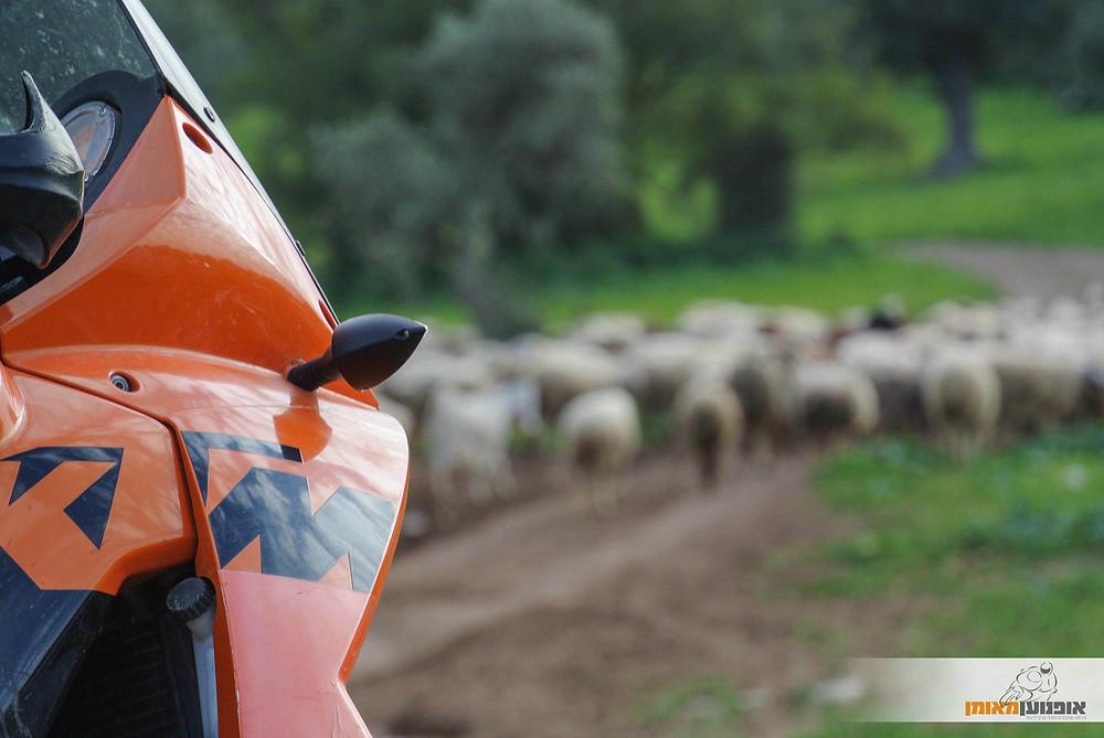 אופנוע קטמ כתום בשביל שחסום על ידי כבשים, רקע עצים וירוק