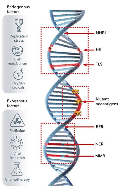 W_DNA-Damage3-mobile.jpg