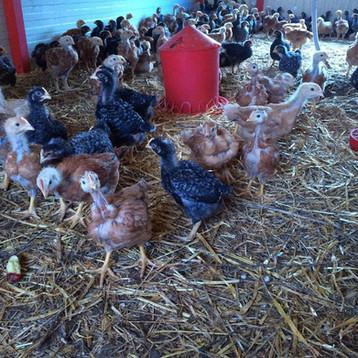 Petits poulets