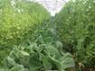 Légumes de printemps dans les serres