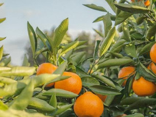L-Ascorbic Acid is Like Oranges, But Better