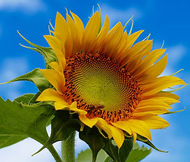 sunflowersp.jpg