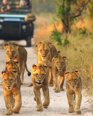 singita-boulders-lodge-lion-pride-game-v