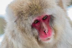 Snow Monkey - Jigokudani Snow Park