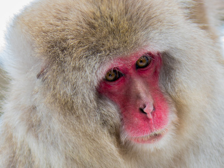 Snow Monkey - Jigokudani Snow Park