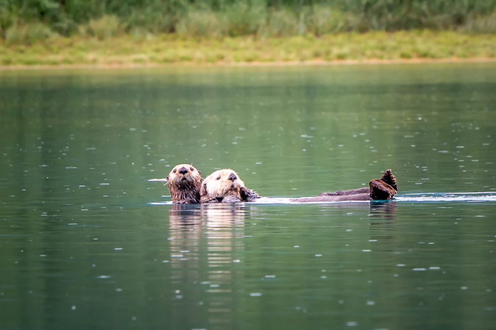 Aialik Bay - Otters, Bald Eagles and more