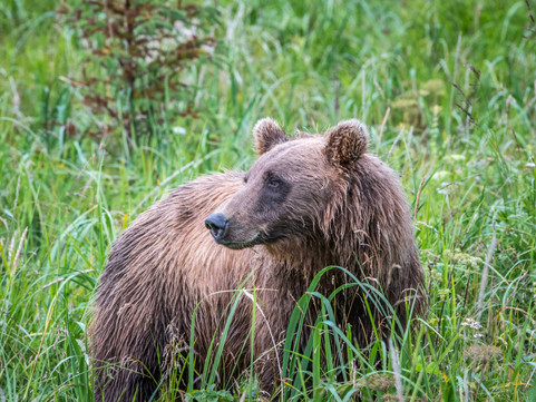 Brown Bears of Lake Clark, Alaska