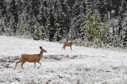 photography deer