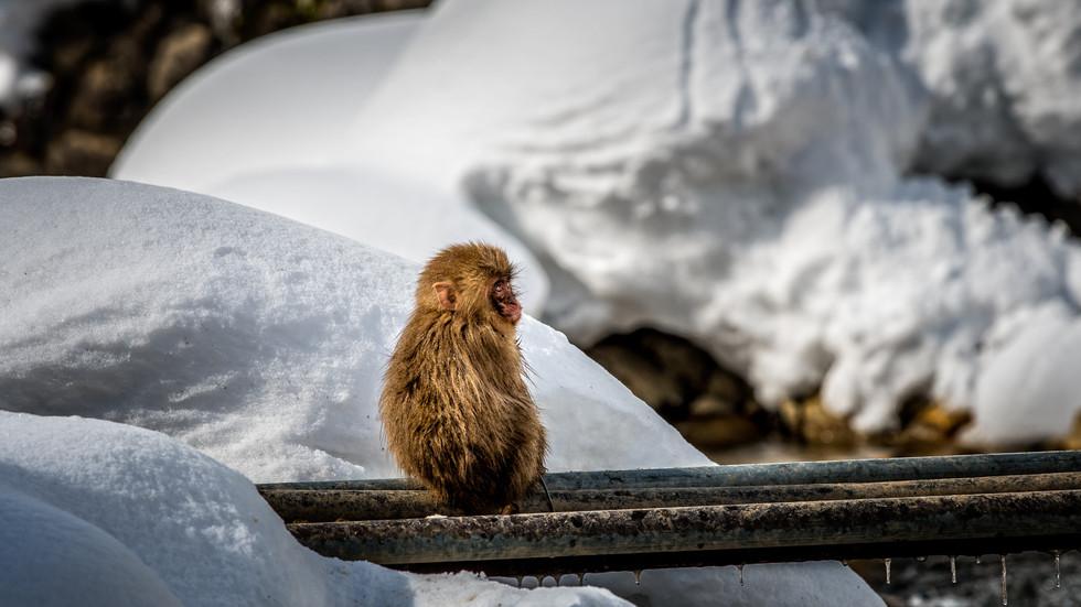 Baby Snow Monkeys - having fun in the mountains