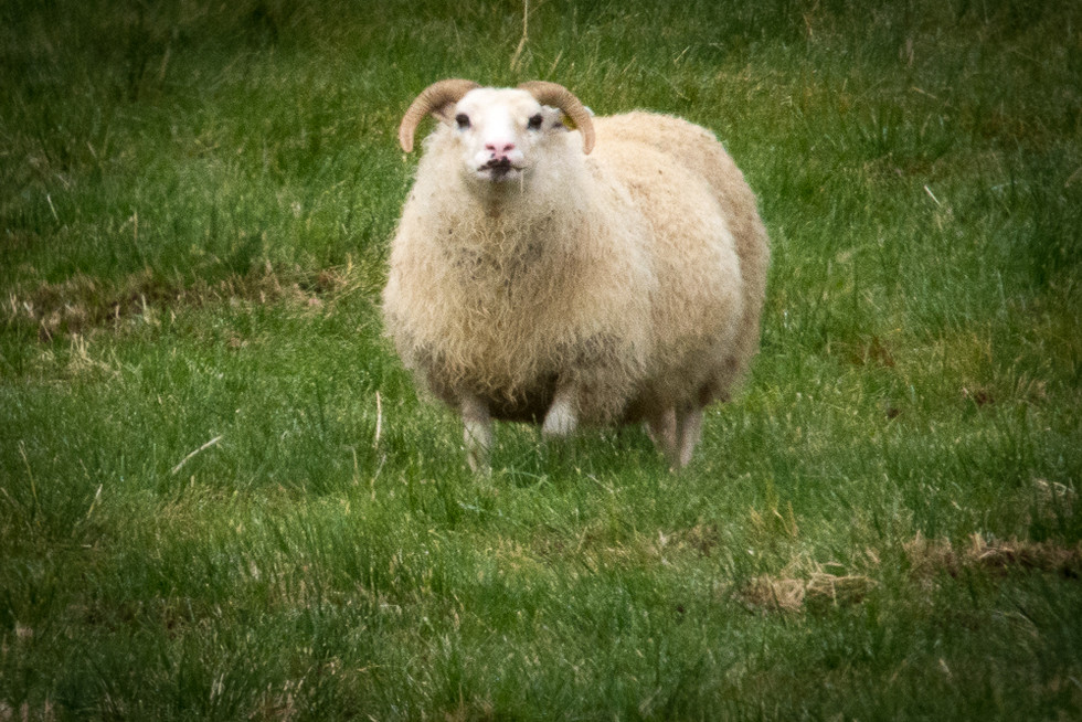 ICELAND - Icelandic Sheep