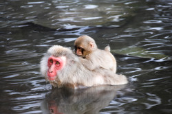 photography snow monkeys