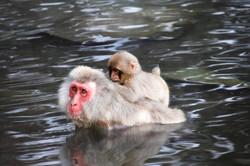 photography snow monkeys