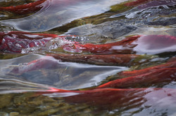Photography Salmon