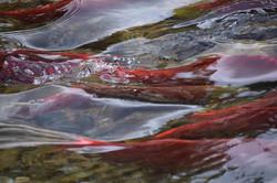 Photography Salmon