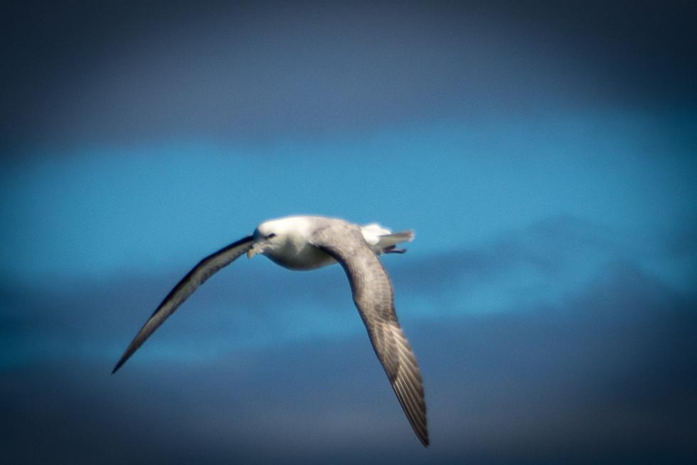 ICELAND - Icelandic Birds