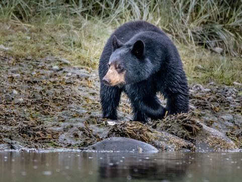 Aialik Bay - Black Bear