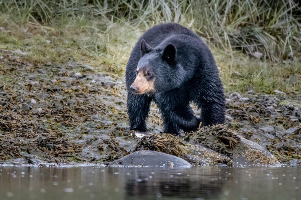 Aialik Bay - Black Bear