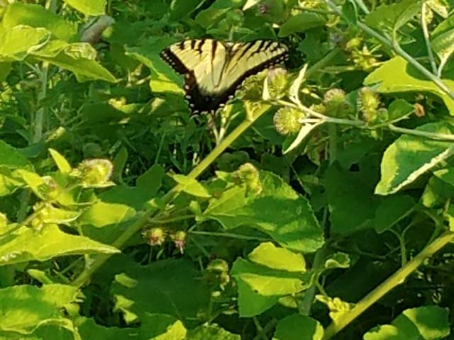 So many beautiful Butterflies ...