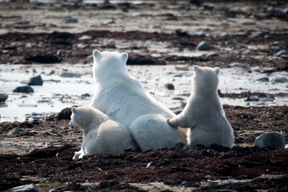 Polar Bears, Churchill