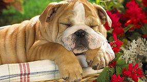 Puppy-dog-Wallpapers3-1024x576.jpg