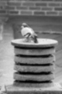palomas acicalandose en un tejado