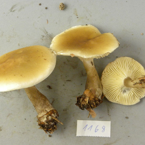 Ampulloclitocybe_clavipes (ex Clitocybe clavipes)A_1168.jpg