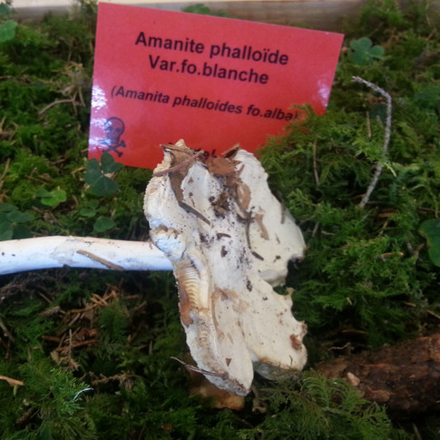 Amanita_phaloides_alba.jpg
