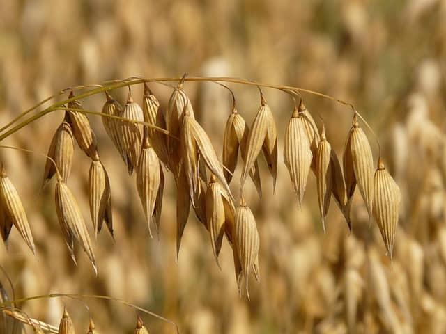 l'avoine, champ d'avoine, arables