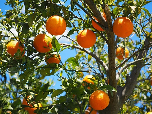 oranges fruits orange tree citrus fruits tree leaves aesthetic foliage evergreen citrus diamond green rutaceae citrus tree sweet oranges orange grove fruit healthy vitamins fruity nutrition delicious vitaminhaltig ripe sweet vitamin c bush tropical fruit branch fruit tree plant food round mediterranean fresh summer oranges orange tree orange tree orange tree orange tree orange tree tree citrus fruit fruit fruit tree fruit tree