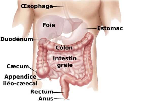 Organes très sollicités du corps humain
