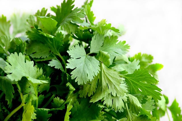 Coriander to fight eyes infection