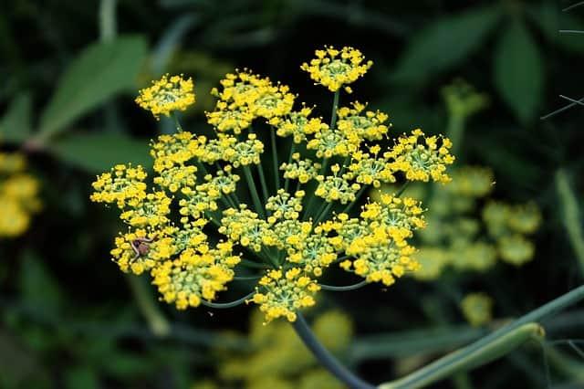 fennel, flower, herb