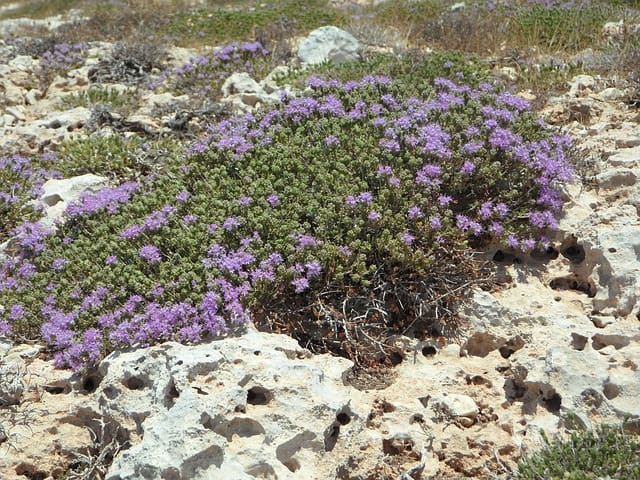 wild thyme thyme wild herbs bloom herbs spice plant herbal plant thyme thyme thyme thyme thyme
